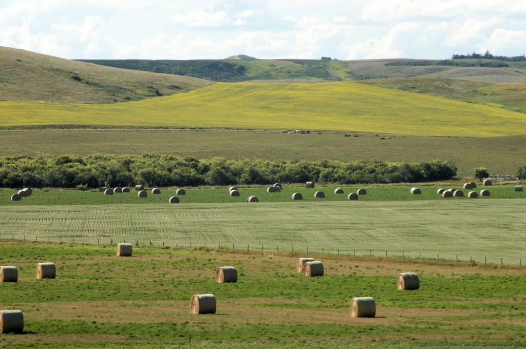 hay bales, grain and canola