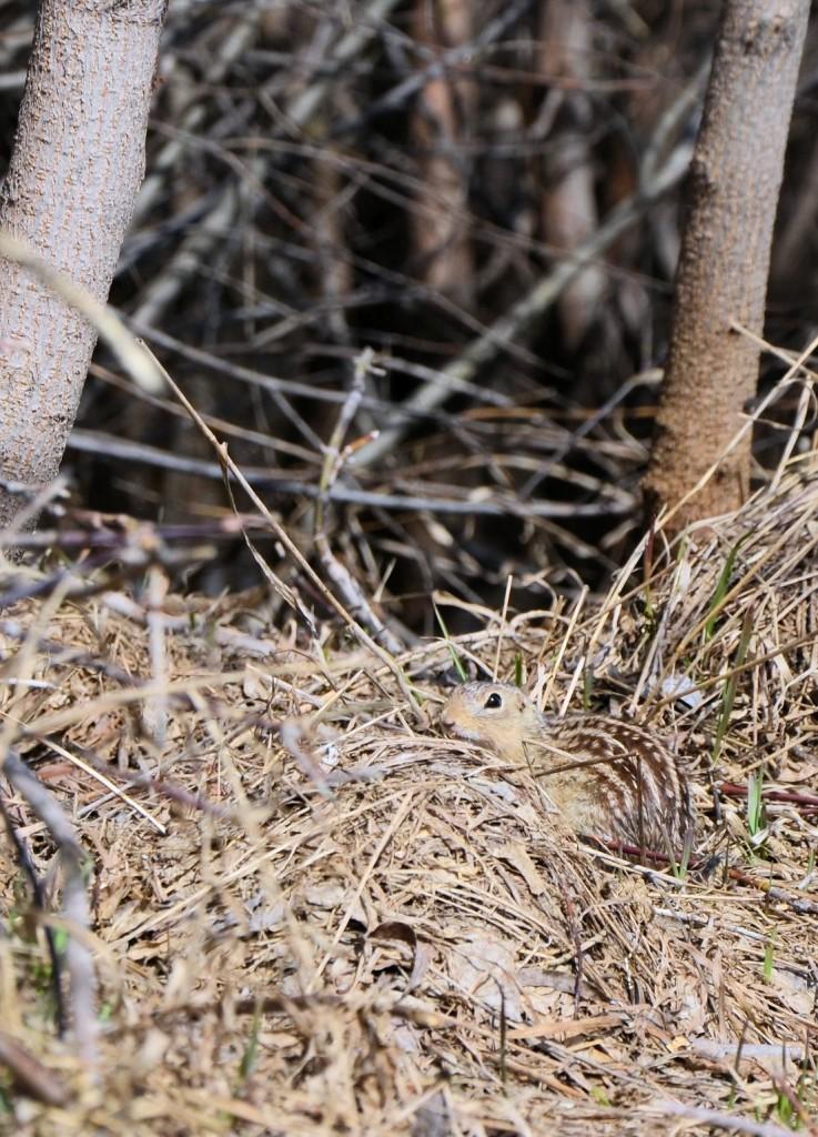 striped Saskatchewan ground squirrel